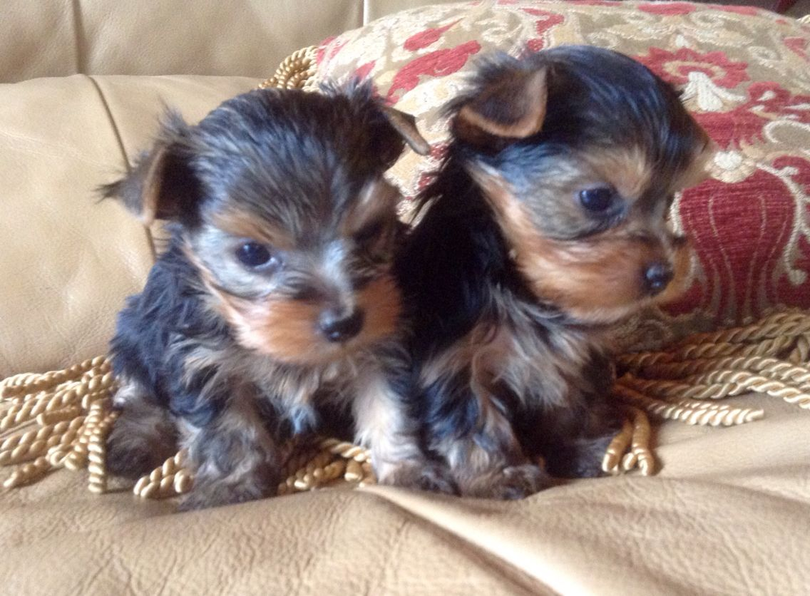 Duke Of Yorkie And His Tiny Brother From Tiny Troubles Arizona Best Breeder Yorkie Terrier Cute Dogs Yorkie Yorkshire Terrier