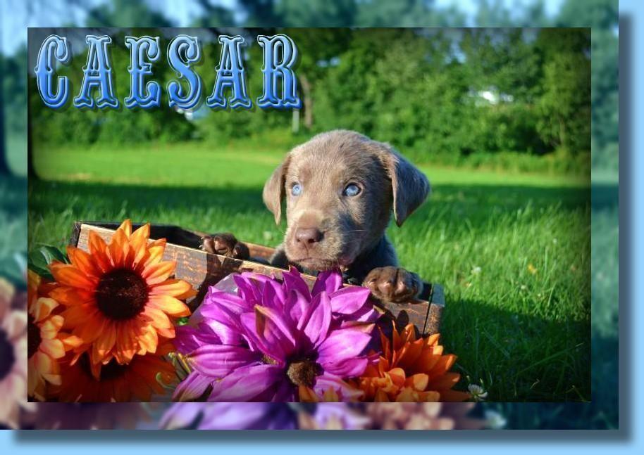 Caesar Akc Male Labrador Retriever 600 Labrador Retriever Labrador Retriever