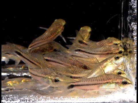 Corydoras Pygmaeus The Pygmy Cory Species Spotlight Youtube Species Fish Pet Aquarium Fish
