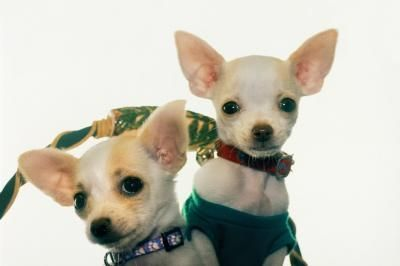 Homemade Dog Food For Chihuahuas Teacup Chihuahua Puppies