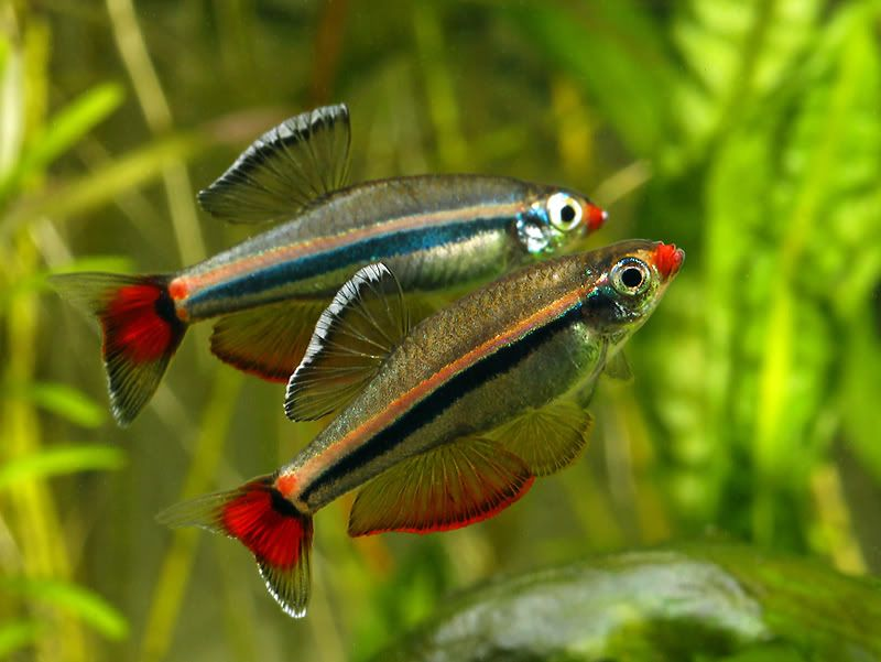Tanichthys Micagemmae Not White Clouds Tanichthys Albonubes Thicker Stripes Than White Clouds R Fresh Water Fish Tank Aquarium Fish Tropical Fish Aquarium