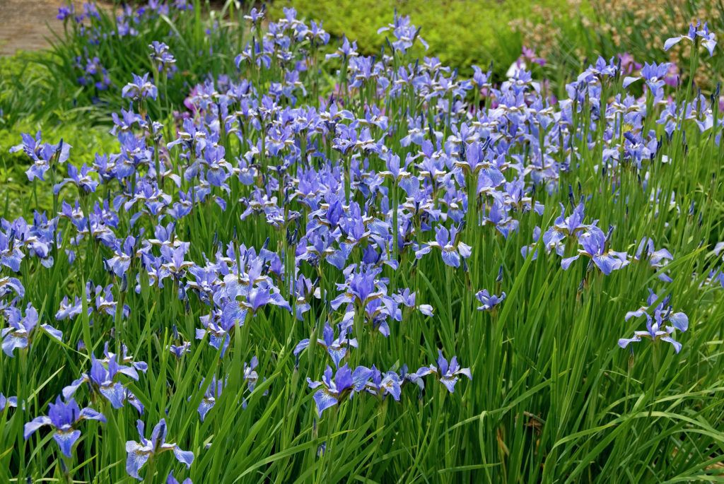 iris sibirica perry's blue - Position: full sun or partial shade Soil: well-drained, moderately fertile soil Rate of growth: average Flowering period: May and June Hardiness: fully hardy Ravishing, sky blue flowers with white markings in May and June and slender, grey-green, strap-shaped leaves