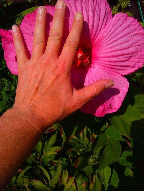 XXL- Hibiskusblüte in meinem Garten | Blumen und Stauden | Pinterest on
