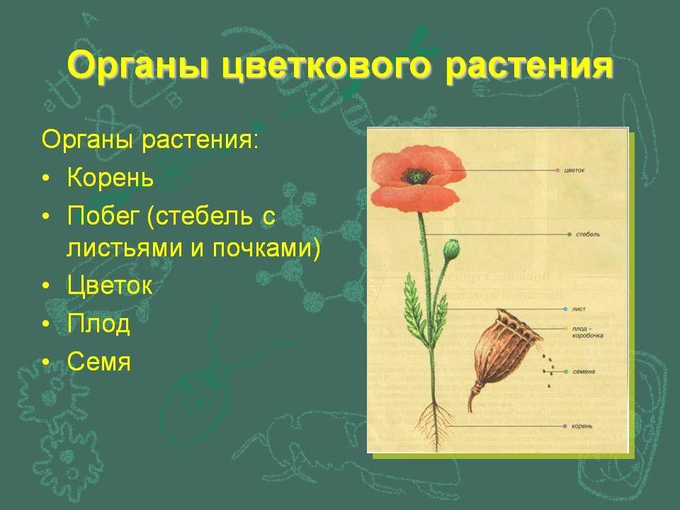Доклад по биологии на тему цветковое растение 6 класс
