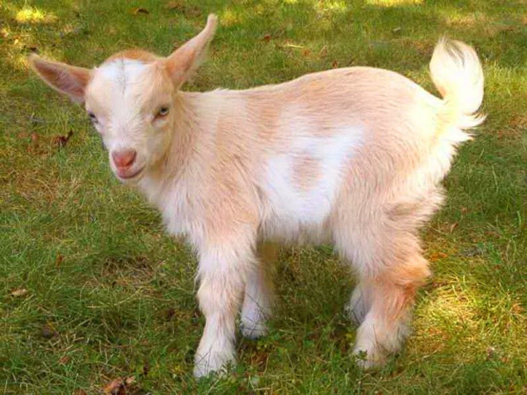 Cute kid goat brown baby white 1024x768 | Goats, Baby goats, Pygmy goat
