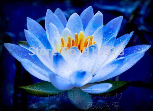 Livraison Gratuite 20 Seed Graines Fee Bleue Fleur De Lotus Superbe