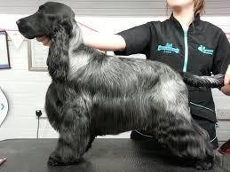 Image Result For Cocker Spaniel Haircuts Animali Bassotto