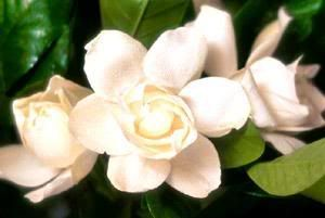 Gardenia Do Come In Different Colors Gardenia Flowers Different Colors