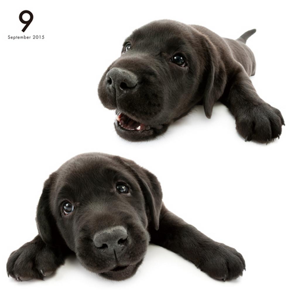 Artlist Collection THE DOG (Labrador Retriever)