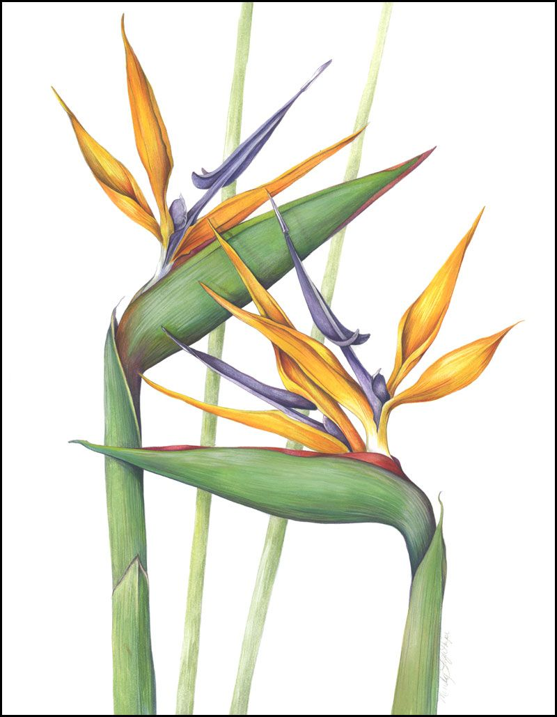 Bird Of Paradise Birds Of Paradise Flower Botanical Watercolor Botanical Painting