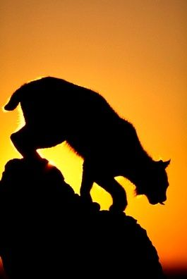 silhouette lynx here kitty kitty pinterest lynx cat and wild