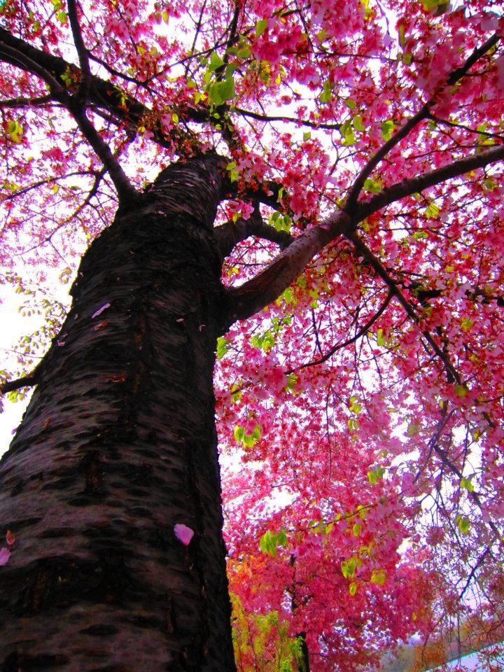 Old Cherry Blossom Tree Japanese Cherry Tree Cherry Blossom Tree Japanese Cherry Blossom