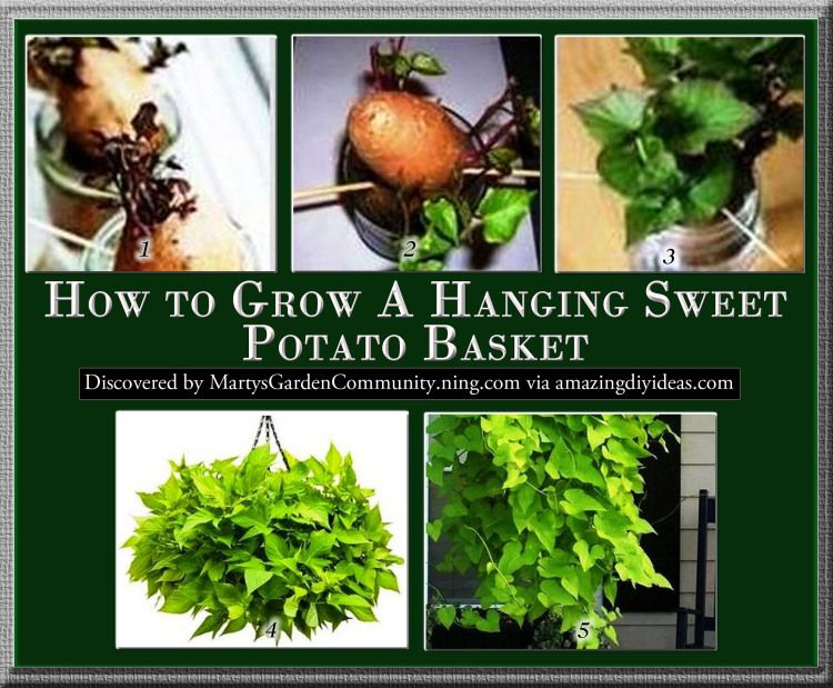 How to grow a hanging sweet potato basket potato basket