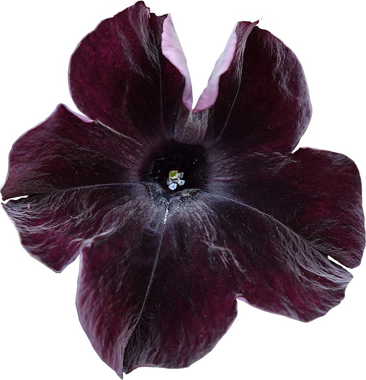 Bien-aimé Fleurs détourées au format PNG Libres de Droits gratuites  VY79