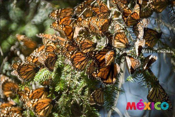 VisitMexico.com @VisitMexico  · May 20              Visita Michoacán y su mariposa monarca, gran migración que arriba a Michoacán desde Canadá.