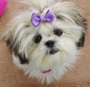 Is A Maltese Shih Tzu Mix The Right Dog For You Shih Tzu Puppies