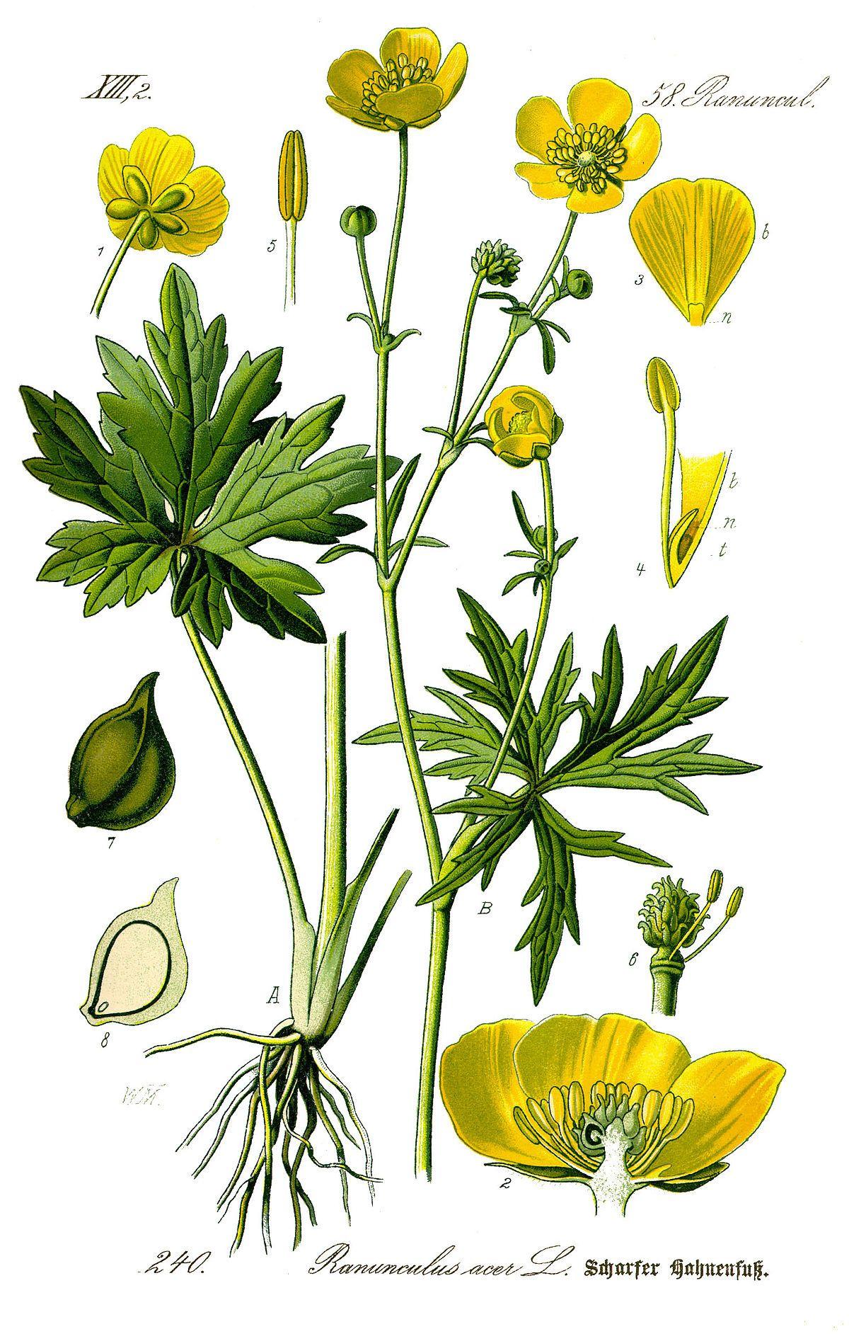 Renoncule Acre Wikipedia Dessins Botaniques Fleurs De