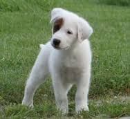 Image Result For Pyrenees Pit Great Pyrenees Dog Cute Creatures