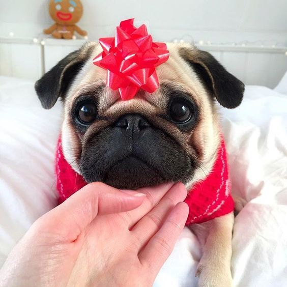 Pin By Crystalrose Perez On Pugs Pugs Pugs In 2020 Pugs