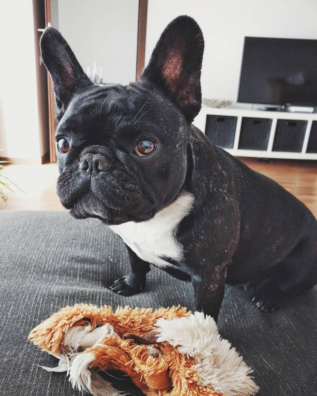 Let S Play Lilythedog Playtime Pets Petsofinstagram Frenchbulldog Frenchy Cute Home Sunday Snapseed Nexus5x French Bulldog Pets Dogs