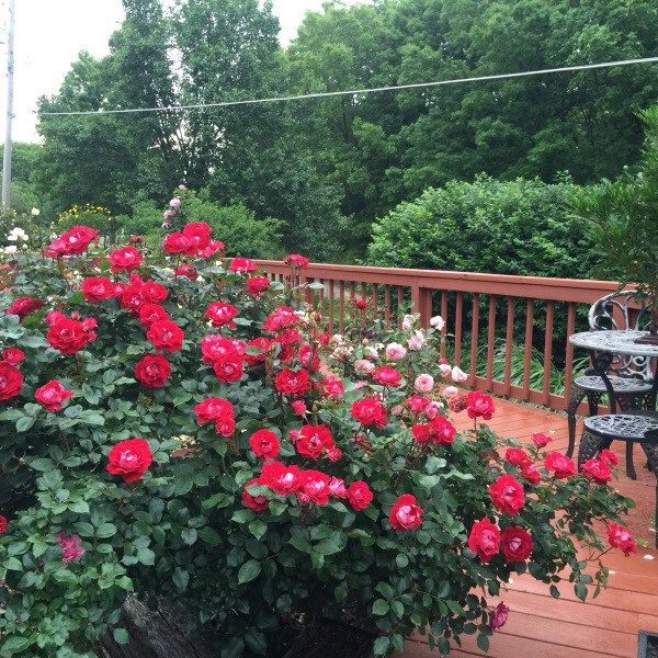 Magnificent Take It Easy In Full Bloom This Rose Is Especially Heat Tolerant Weeks Roses Rose Clematis