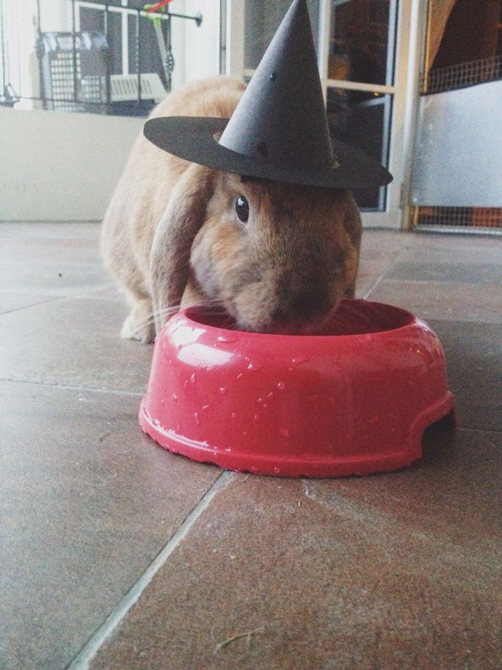 Wearing a witch hat for Halloween! To check out more photos of this adorable lop, Marni, go to @bunnymumbler on Instagram