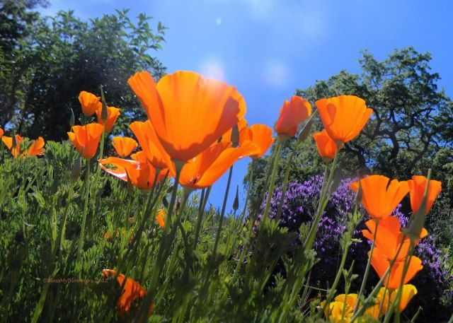 where or where did the weekend go? good thing I don't have a job to go to anymore..I would never make it on Monday morning...these California poppies were in my garden..grown from the seeds of wild ones in the pasture...