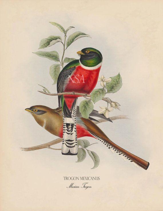 Antique Bird 8 x 10 Art Print Mexican Trogons by NaturalScienceArt, $9.99