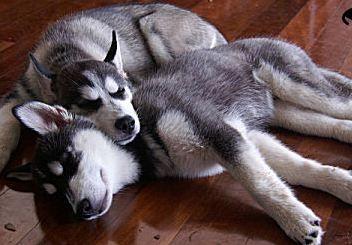 Huskies Husky Siberian Husky Sleeping Dogs