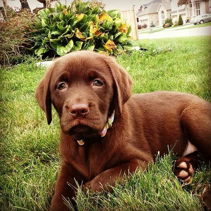 Lucky Labs Wallaceburg Ontario Chocolate Lab Puppies Puppies Lab Puppy