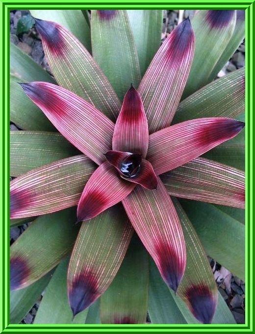 guzmania bromeliad care instructions