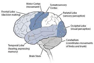 Human brain diagram lab illustration of wiring diagram sensory regions of the brain simplified diagram shows major rh pinterest com human brain diagram without labels human brain diagram without labels ccuart Image collections
