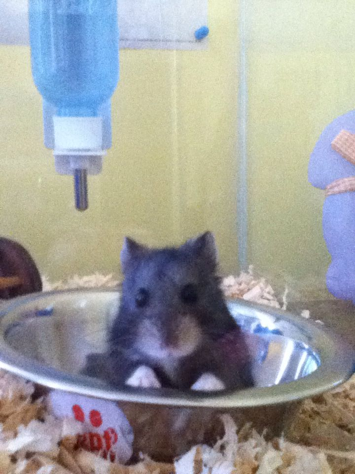 This Is My Hamster Bolt He Is A Russian Blackberry Dwarf Hamster Hamster