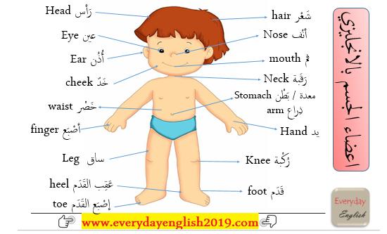 كلمات انجليزية مترجمة اعضاء الجسم بالانجليزي Learn English Learning Ielts