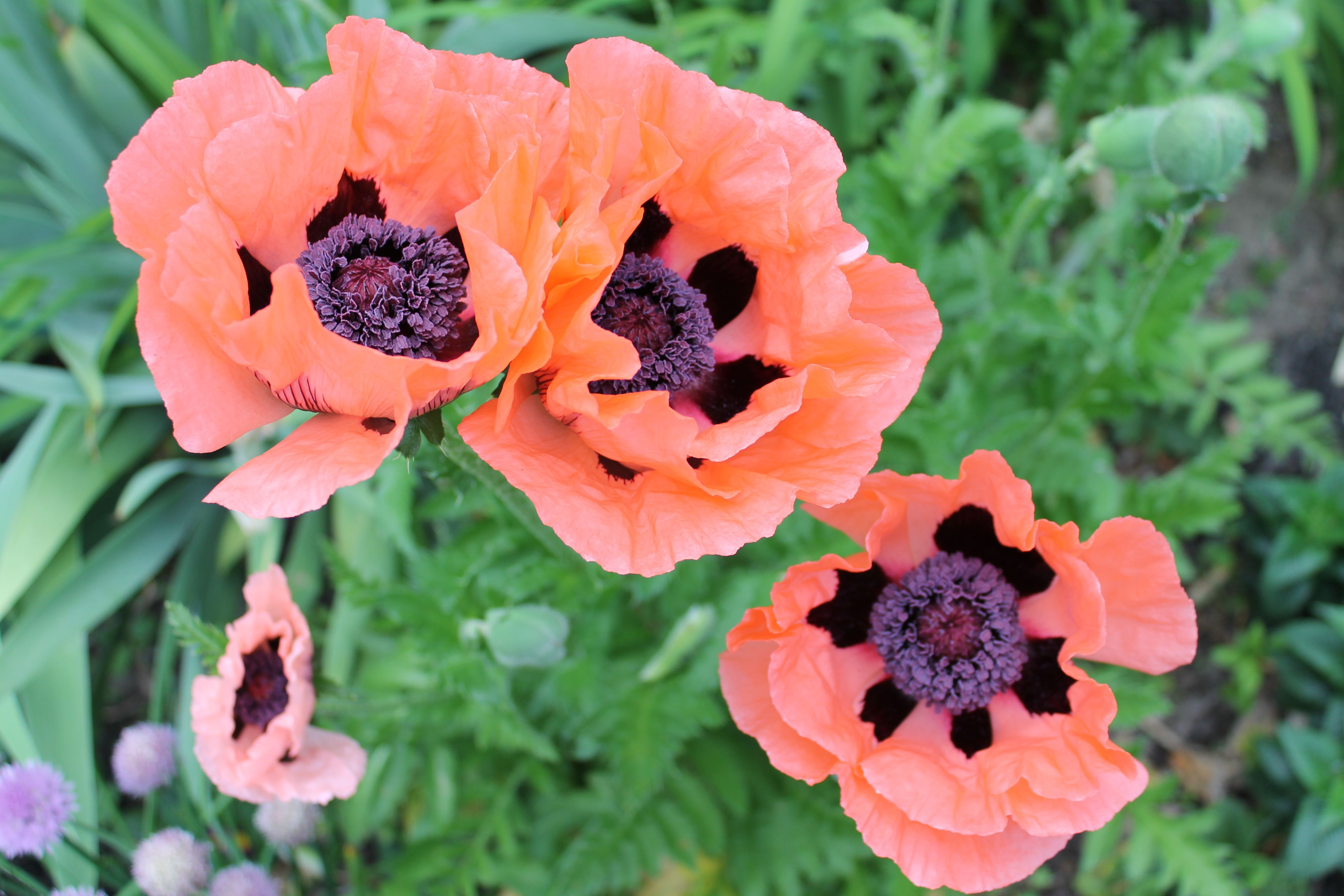 Oriental Poppies Coral Reef And Queen Victoria Louise Lighter Pink