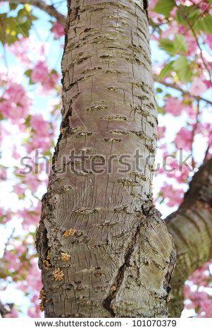 Image Result For Cherry Blossom Tree Bark Cherry Blossom Tree Tree Bark Tree