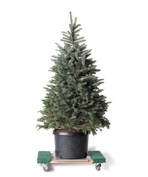 6 Tips for Live Christmas Trees | Live christmas trees, Christmas ...