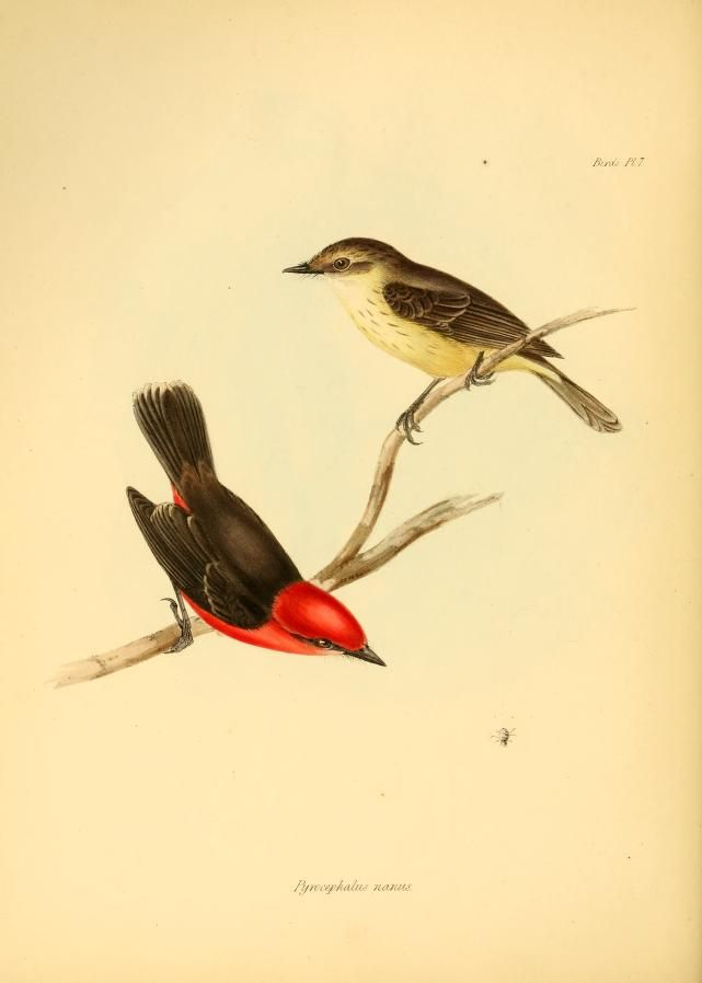A Pair Of Vermilion Flycatchers From The Zoology Of The Voyage Of
