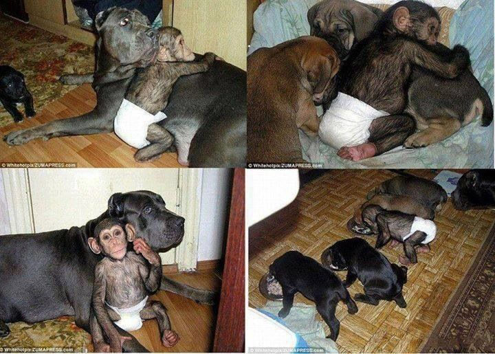 A chimpanzee born in a Russian Zoo, after being abandoned by its mother was adopted by a dog of the Mastiff breed and his four adorable puppies that make more than happy life of small chimpanzee.