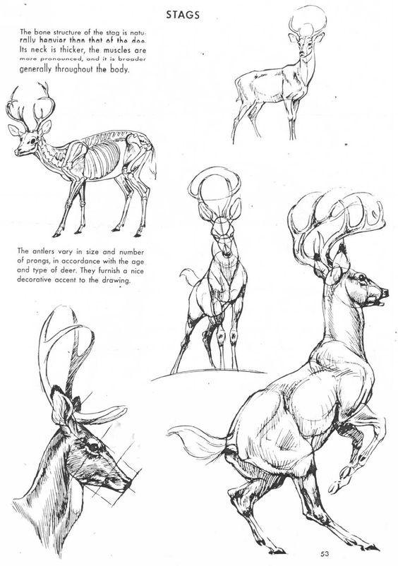 Art: Tips & Tutorials — Deer Anatomy Reference Artist: Unknown ...