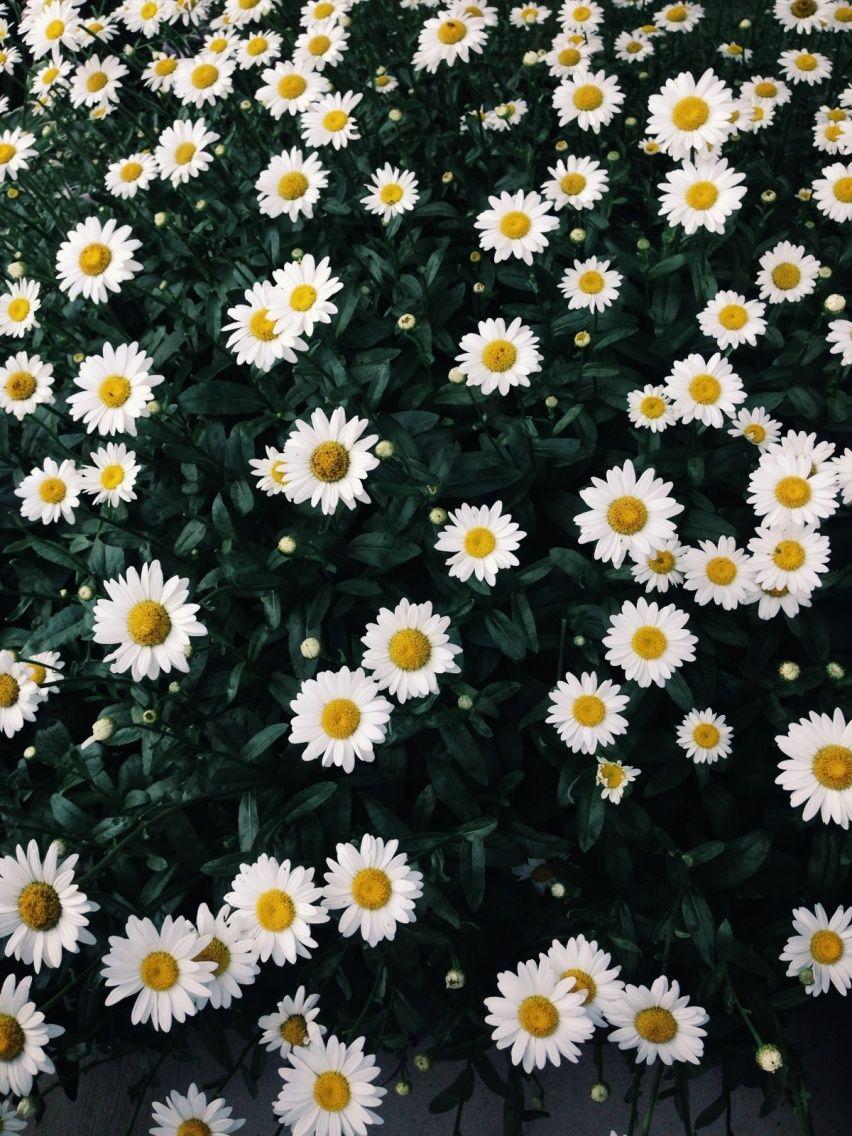 Field of daisies VSCO shecu N a t u r e Pinterest
