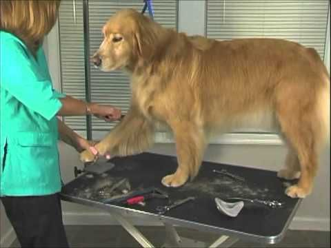 How To Groom Golden Retriever Jodi Murphy Instructional Series