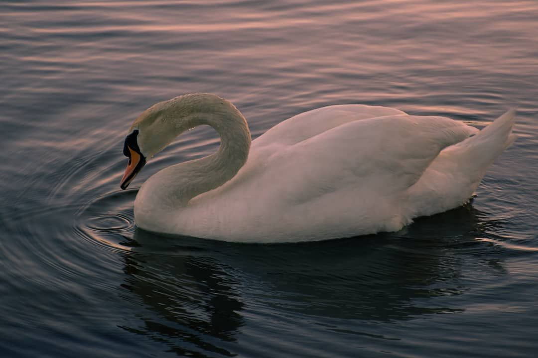 As elegant and beautiful as a swan. . . . . .  photooftheday  swan  sunset  photo  nikon  photographer  photography  hamont  hamilton  gorgeous  swan  goldenhour  beautiful  breathtaking  water  ripples  naturallighting  reflection  swan #waterripples As elegant and beautiful as a swan. . . . . .  photooftheday  swan  sunset  photo  nikon  photographer  photography  hamont  hamilton  gorgeous  swan  goldenhour  beautiful  breathtaking  water  ripples  naturallighting  reflection  swan #waterripples