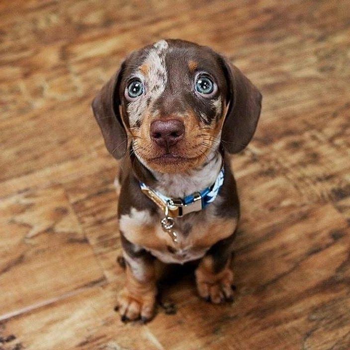 Look At Those Eyes Dog Puppies Pets Animals Funny Paw Best Puppy Breed Love Cute Funny Dapple Dachshund Dapple Dachshund Puppy Dachshund Puppies