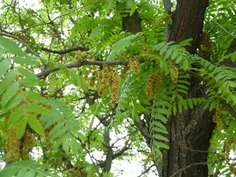 All About Growing Locust Trees Honey Locust Tree With Pods