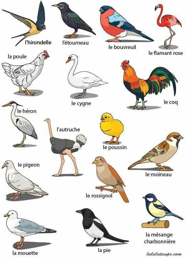 Ptaki - słownictwo 4 - Francuski przy kawie