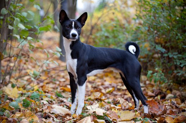 Basenji Basenji Dogs Hypoallergenic Dogs Dog Breeds