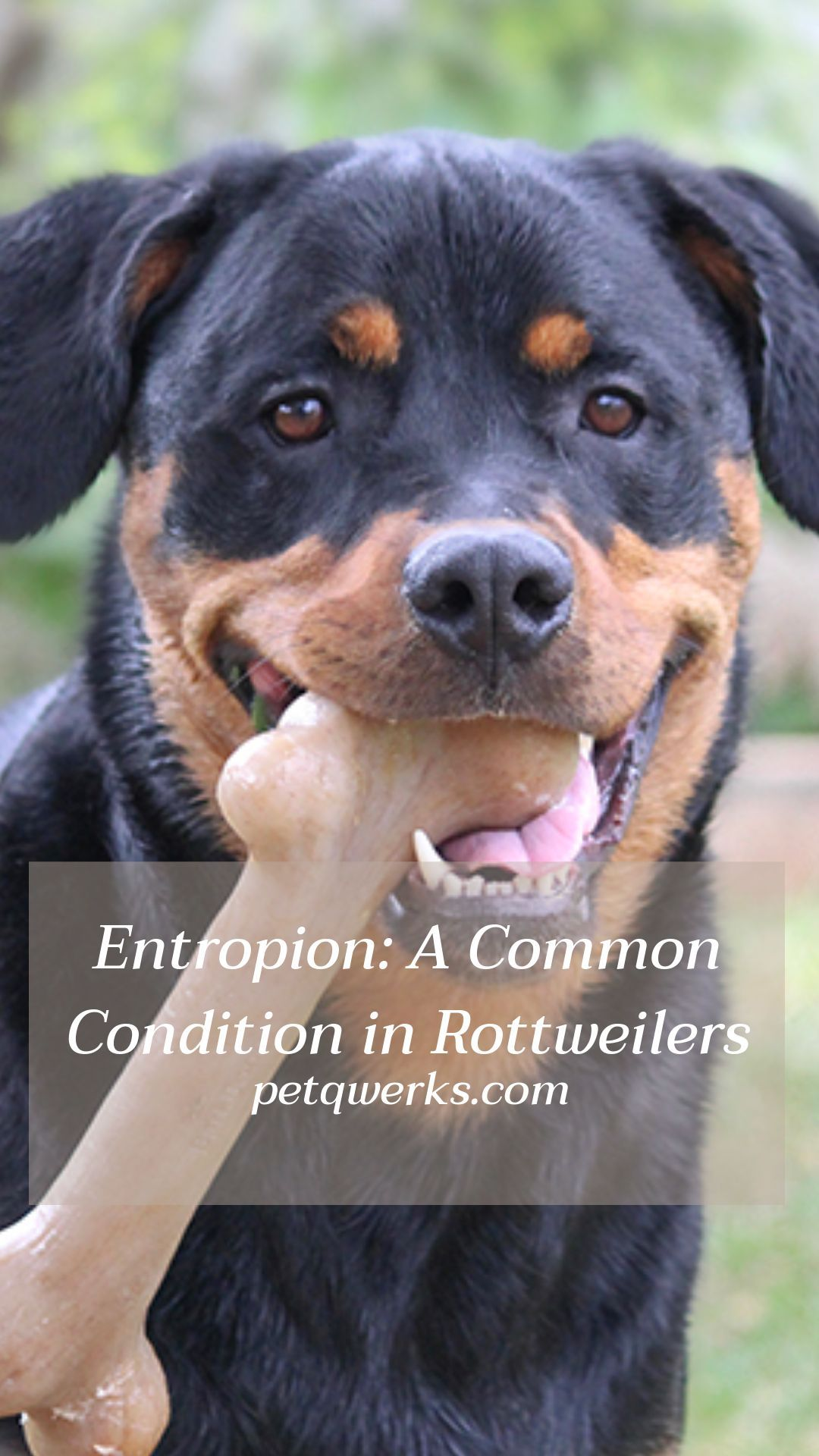 Entropion A Common Condition In Rottweilers Rottweiler Wonder