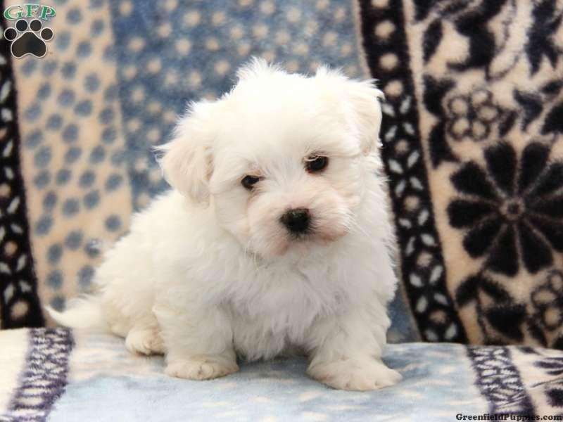 Chester Maltichon Puppy For Sale In Pennsylvania Designer Dogs