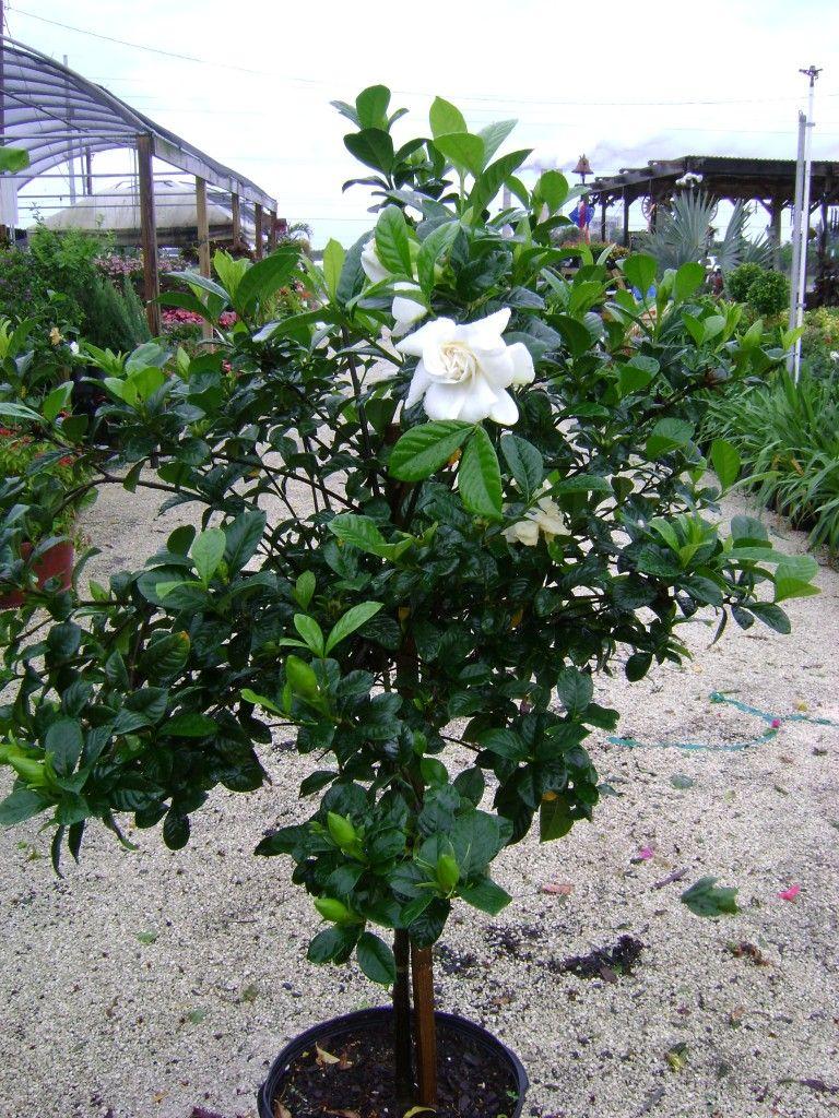 Miami Supreme Grafted Gardenia 1 With Images Gardenia Trees